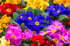 Primroses after rain. Shallow focus on central flowers of a very colorful display of Primroses Stock Photo