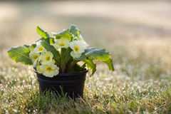 Primroses - Ready for Spring & Gardening?. Primroses in plant pot, ready for planting and Spring gardening royalty free stock image