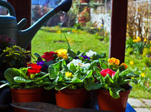 Primroses in Flower Pots Stock Photo