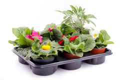 Primroses And Sage. Different colored flowering primroses and sage inside plastic seed tray, isolated on white background Royalty Free Stock Image