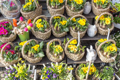 Primroses in small baskets Stock Photography