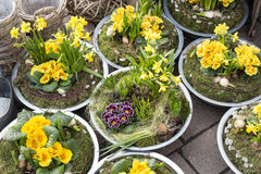 Primroses in small pots Royalty Free Stock Image