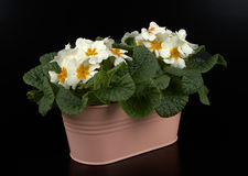 Primroses Royalty Free Stock Photos