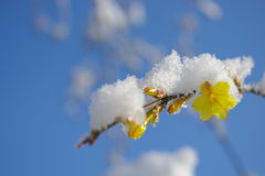 Primroses with snow. After snow,a branch primroses under white snow are shining Royalty Free Stock Photography