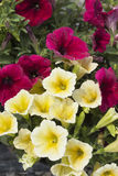 Primroses in spring. As a background Royalty Free Stock Photos