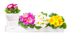 Primroses, spring decoration Stock Image
