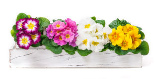 Primroses, spring decoration Royalty Free Stock Photo
