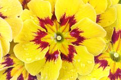 Primroses, spring flower. Beautiful primrose spring flower,with waterdrops,studio shot Royalty Free Stock Images