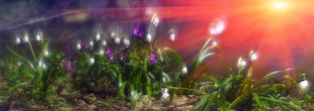 Primroses in spring Stock Photos