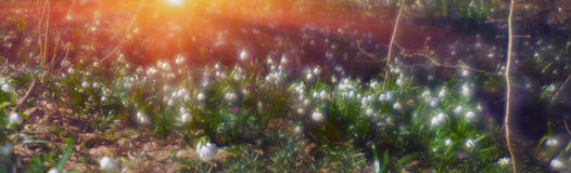 Primroses in spring Stock Images