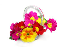 Primroses in the vase. On the white background Stock Photo