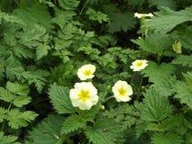 Primroses. Wild Spring Primroses Stock Image