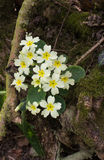 Primroses in the wood Royalty Free Stock Images