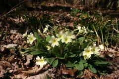 Primroses in spring woodland Stock Photo