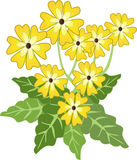 Primroses. Yellow spring  primroses with dark green leaves Stock Photo
