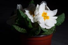 Primula, ή primrose άνθιση με τις πτώσεις νερού, μακροεντολή στοκ εικόνα