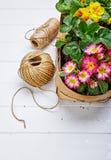 Primula λουλουδιών άνοιξη στο ψάθινο καλάθι Στοκ Φωτογραφία