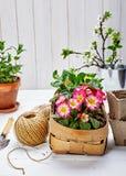 Primula λουλουδιών άνοιξη στο ψάθινο καλάθι Στοκ εικόνες με δικαίωμα ελεύθερης χρήσης