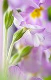 primula λουλουδιών στοκ εικόνες με δικαίωμα ελεύθερης χρήσης