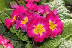 Primula Χ polyantha & x27 Σουπερνόβα Mix& x27  Στοκ φωτογραφίες με δικαίωμα ελεύθερης χρήσης