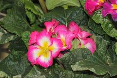 Primula Χ polyantha & x27 Σουπερνόβα Mix& x27  Στοκ φωτογραφία με δικαίωμα ελεύθερης χρήσης