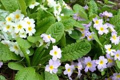 Primula первоцвета Стоковые Изображения