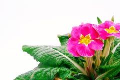 Primula против белой предпосылки Стоковые Фото