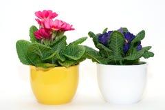 Primula против белой предпосылки Стоковая Фотография RF