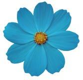 Primula цветка Turquise Предпосылка изолированная белизной с путем клиппирования closeup Стоковые Изображения