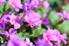 Primula цветков первоцвета розовый Vulgaris розовые первоцветы Растущее цветков Primula в поле Стоковая Фотография