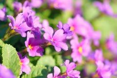 Primula цветков первоцвета розовый Vulgaris розовые первоцветы Растущее цветков Primula в поле Стоковое Изображение RF