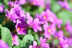 Primula цветков первоцвета розовый Vulgaris розовые первоцветы Растущее цветков Primula в поле Стоковые Изображения