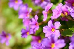 Primula цветков первоцвета розовый Vulgaris розовые первоцветы Растущее цветков Primula в поле Стоковое Фото
