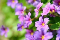 Primula цветков первоцвета розовый Vulgaris розовые первоцветы Растущее цветков Primula в поле Стоковые Фото