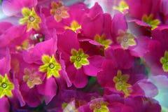 primula цветков розовый Стоковое Изображение RF