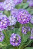 Primula цветков denticulate Стоковая Фотография RF