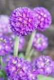 Primula цветков denticulate Стоковые Фотографии RF