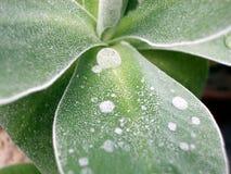 Φύλλο Primula στοκ φωτογραφίες