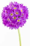 Primula Photographie stock
