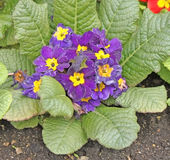 Primula. Flower bed with colorful fresh spring primula Royalty Free Stock Photos