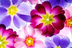 Primula Stock Image