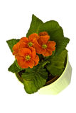 Primula Royalty Free Stock Photography