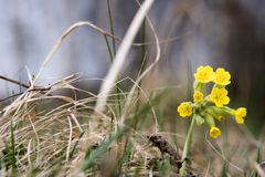 Primula. Wild primula among weed at cloudy day Royalty Free Stock Photography