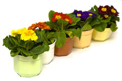 Primula Royalty Free Stock Images
