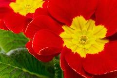Primula Zdjęcie Royalty Free