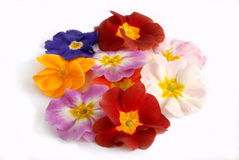 Primula Royalty Free Stock Photo