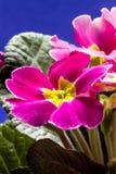 Primula стоковая фотография rf