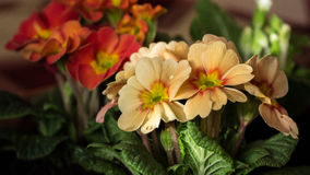 Primula. A type of flower that blooms in the early spring stock photography