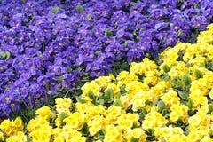 Primula Стоковые Фото