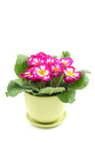 Primula. Close-ups of pink primula in pot isolated on white royalty free stock image
